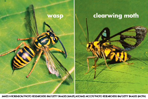 clearwing moth wasp